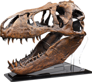 T-Rex Skull Replica