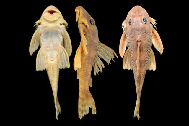 A fish called greedo scientists name a new species after for Star wars fish