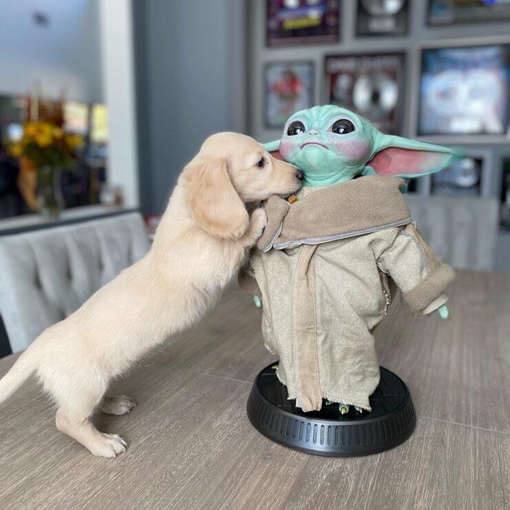 Grogu and a white/yellow dachshund puppy